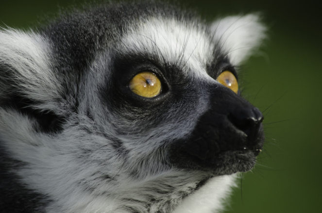 Head of Lemur