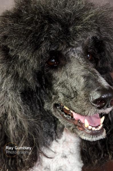 Dog Portrait Poodle Large